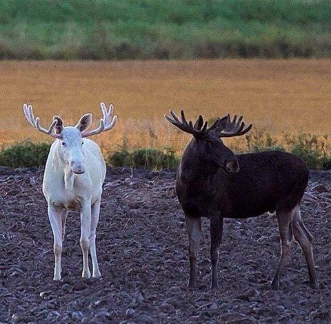 Moose in Fairbanks, Alaska