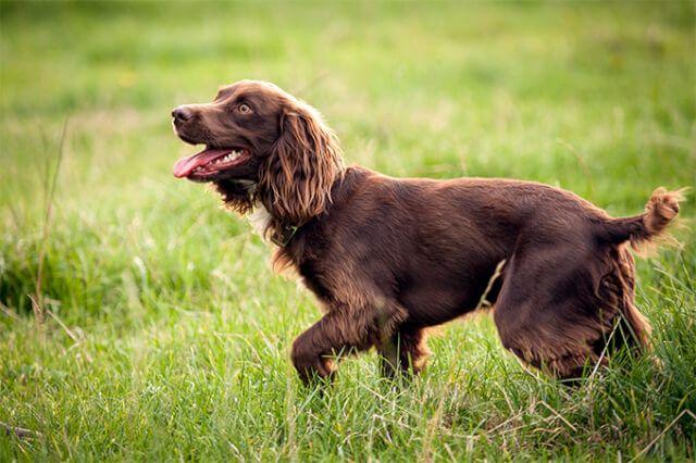 Boykin Spaniel Male Dog Dog Breeds Boykin Spaniel Spaniel Puppies