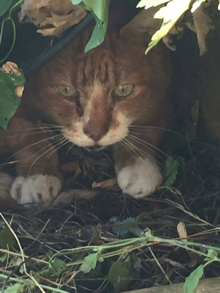 Ginger and white cat found in Hertford, very hungry and looks like he has been…