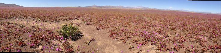 大雨がチリのアタカマ砂漠を幻想的な花畑に変えた
