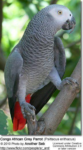 Animals Birds Parrots African Grey Parrots