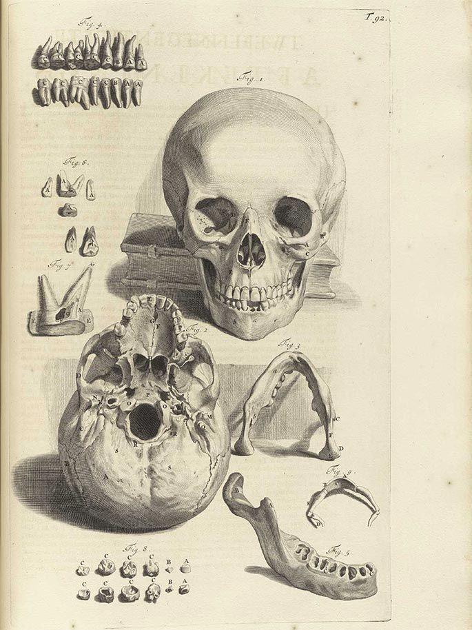 human skull, from a 17th century Dutch medical textbook, by Govard Bidloo