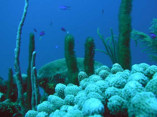 Los 22 miembros del Convenio de Barcelona y la ONU han acordado incluir el coral árbol amarillo, al cresta de gallo, el coral candelabro y el coral bambú, como especies en peligro o amenazadas en el Mediterráneo. La información completa en nuestro Blog:  http://cabofuels.com.mx/blog/protegiendo-los-corales-en-peligro-del-mediterraneo/