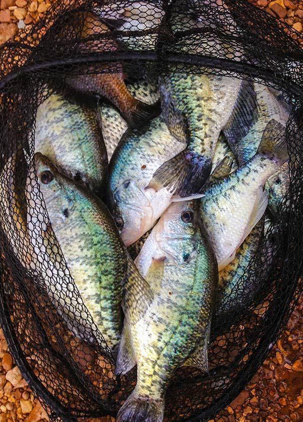 Why you should fish for crappie if you're a die-hard bass angler.