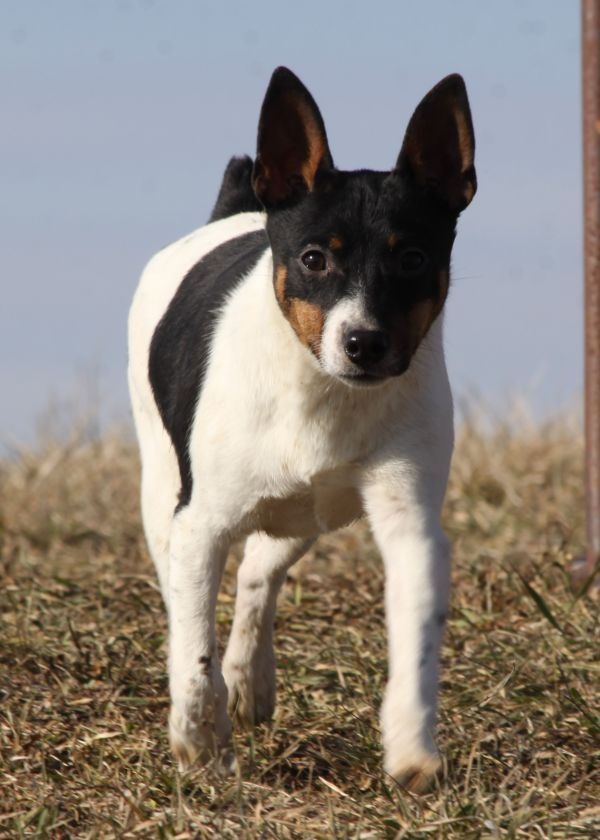 american rat terrier 175 best images about dogs american rat terriers on 7354