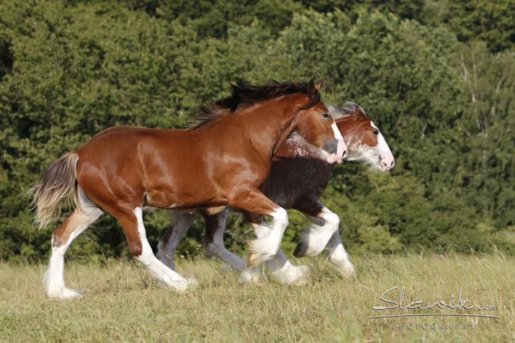 Clydesdale fillies 2S Explorer's Floral Impression and 2S Barnaby's Illustrious Belle