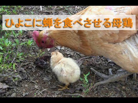 4日目のひよこに蝉を食べさせる母鶏~名古屋コーチンのにわとり親子/ペット~