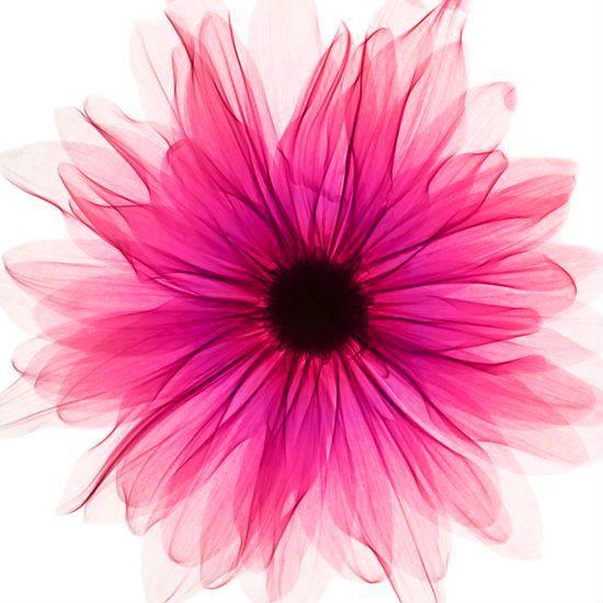 Ezrulie's colors, flower X-ray