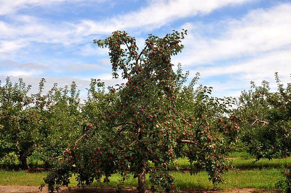 Michigan Apple Tree.  Diane Greene Lent
