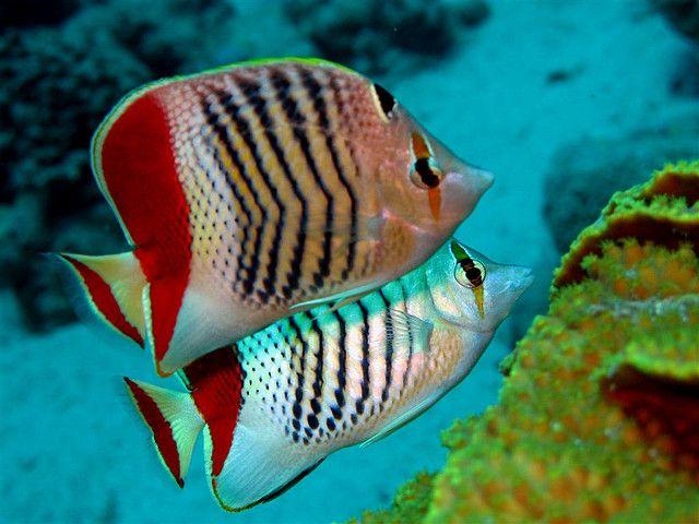 Crown Butterflyfish (Chaetodon paucifasciatus) / Egypt-Sinai-Dahab