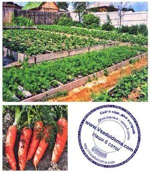 Выращивание моркови на высоких грядках