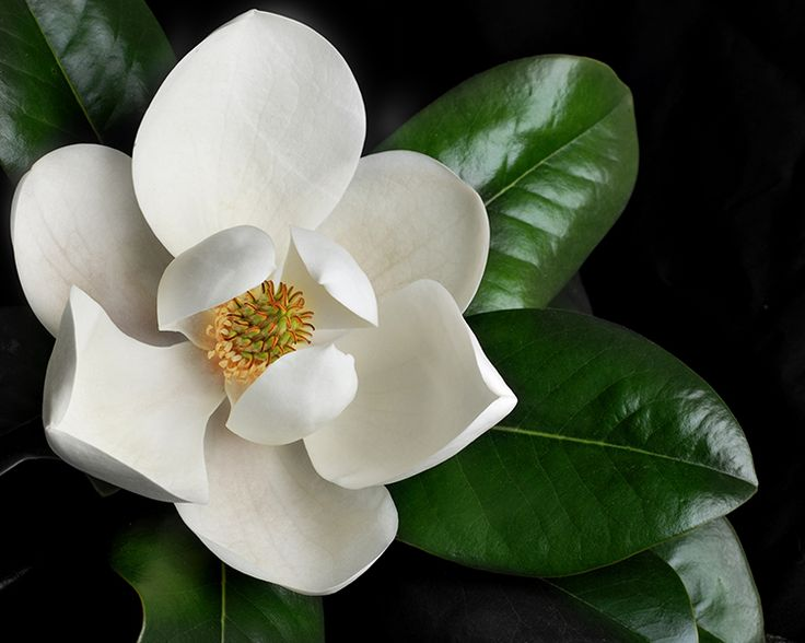 Little gem magnolia Trees for sale. 25 Gallon for delivery. 6 To 8 foot tall for $175.00. Installation available for $60.00. Please message if interested.