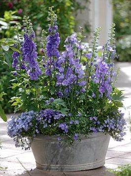 Delphinium elatum Magic Fountain 'Blue', Campanula persicifolia, Campanula portenschlagiana in old tin bath