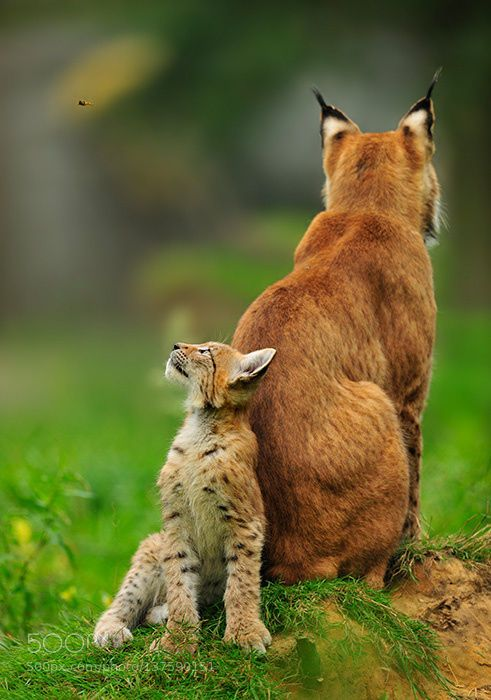 Sticking close [Eurasian Lynx]