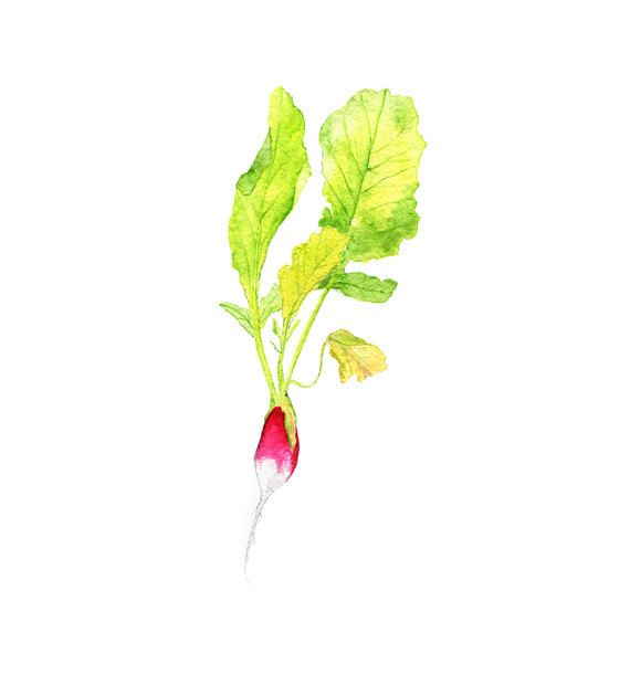 629 best images about Botanical drawings on Pinterest ...