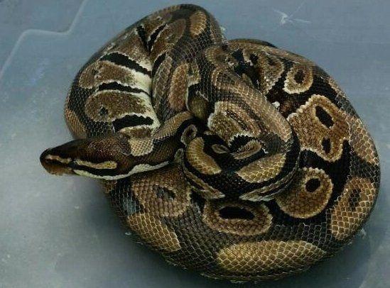 (C)Suffolk County SPCA/WPIX ▼19Jun2014CNN|引越し先ソファからニシキヘビ、前住人が置き去りか 米 http://www.cnn.co.jp/fringe/35049655.html #Burmese_python #Python_molurus_bivittatus #Python_bivittatus #Tran_Mien_Dien
