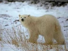 Wildlife and Habitat Conservation News: Hybrid Polar/Grizzly Bears showing up in the Arctic