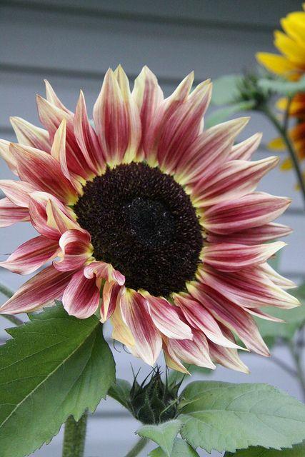 Pink/Yellow sunflower