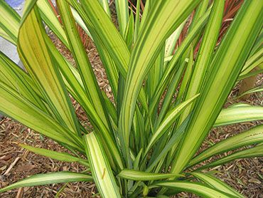 would go nice with sunrise cordyline