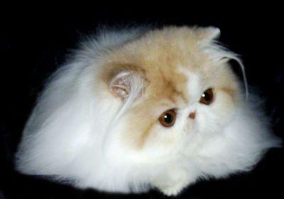 Allevamenti di gatti persiani in Spagna