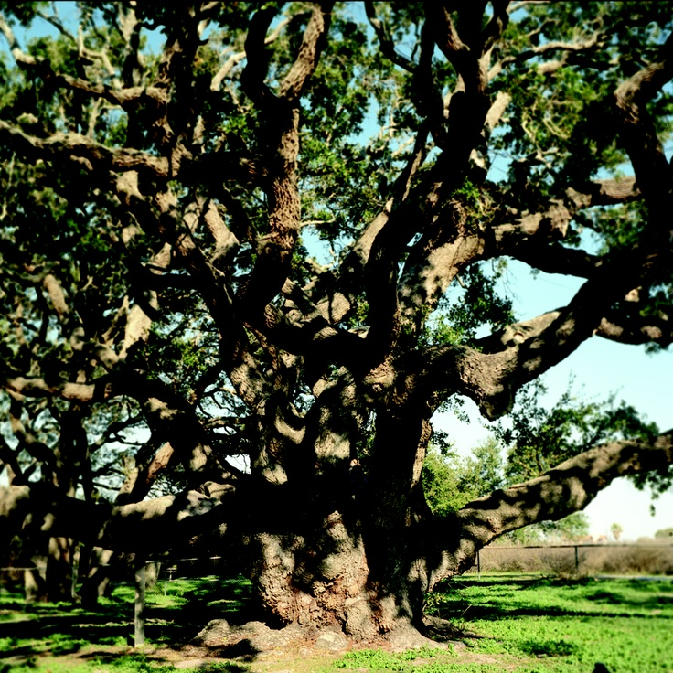 """The 1000-year-old Goose Island Oak, from my new book, """"Living Witness: Historic Trees of Texas"""" See more at livingwitness.net"""