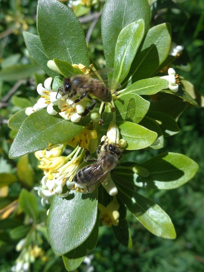 Two bees on flowering branch