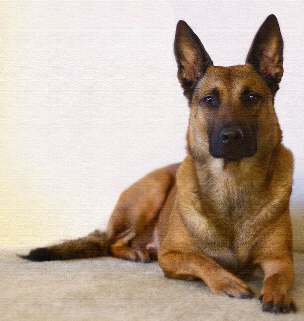 German shepherd malinois images
