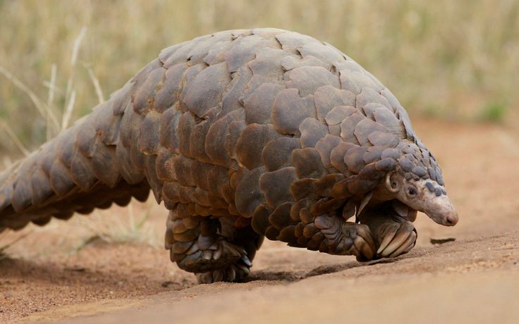 <p>According to a Care2 petition, since 1990 the Conservation Law of Indonesia provides protection for the nation's endangered species, including thecritically endangered rhinos and the Sunda pangolin. </p>