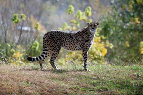 Gepard to gatunek drapieżnego ssaka, z rodziny kotowatych. Obecnie w Afryce oprócz południowej Afryki, gdzie występują jeszcze stosunkowo licznie, ale tylko na obszarach parków narodowych i rezerwatów. Można je spotkać też w niewielkich populacjach na południowych obrzeżach Sahary.Gepardy są drapieżnikami, jedzą głównie małe (do 40 kg) ssaki, takie jak gazele, impale, młode gnu i zające.