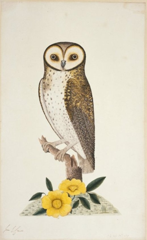 [Raper, George] ca 1769-1797 :[Masked owl - tyto novaehollandiae. Between 1788 and 1790] 1 1/4 less natural size. / A...