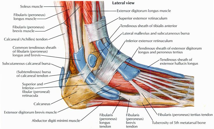 Anatomy of calf muscles and tendons