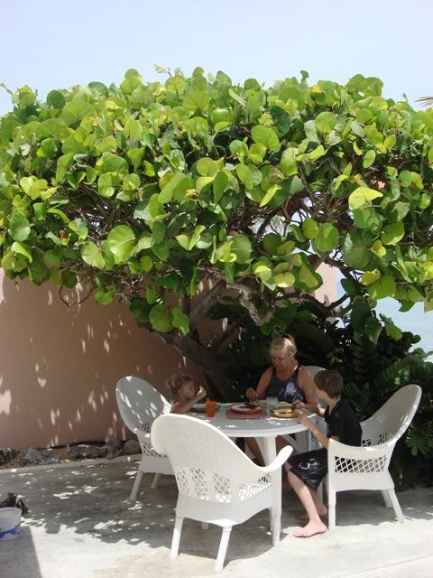 Lunch under sea grape tree. Wonderful FL native canopy or hedge plant. Edible fruit too!