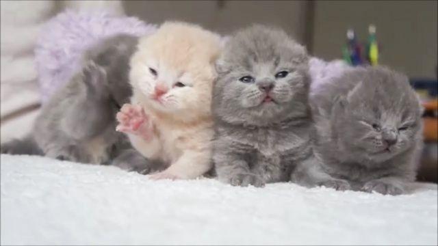 Котята породы Шотландская вислоухая кошка  http://salecats.com/video/106-milye-i-pushistye-kotiki-kotjata-porody-shotlandskaja-vislouhaja-koshka.html