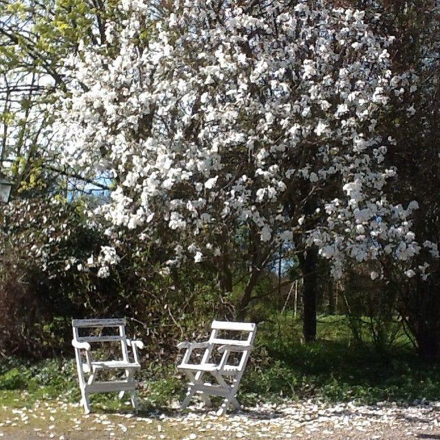 Magnolia Merrill in my garden / Ann-Sofi Dahlgren, Sweden