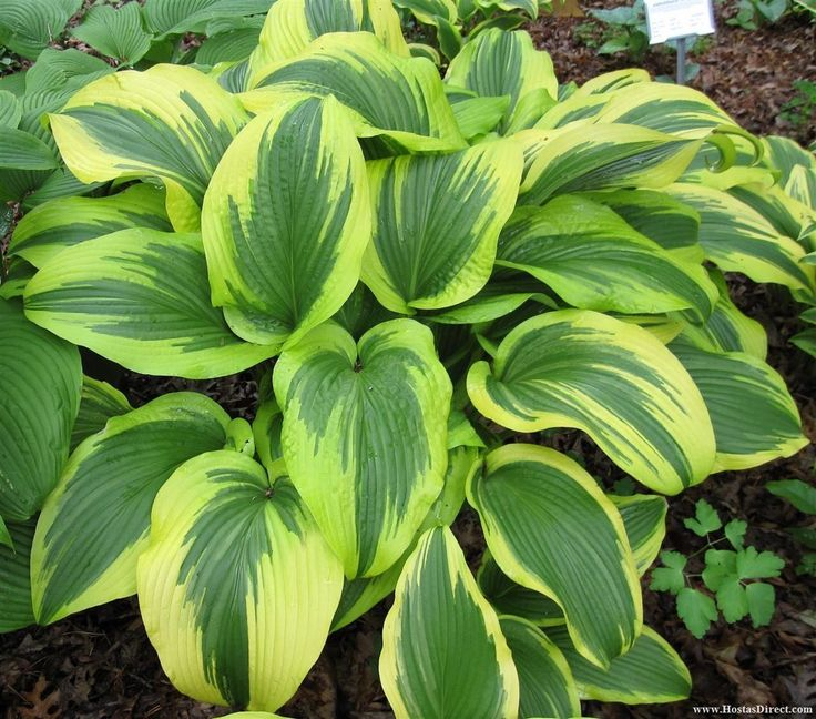 """Hosta 'montana Aureomarginata' - Height 23-27"""", Spread 47-59"""".Wave Spacing 54"""", Specimen Spacing 72"""" Leaves 12"""" x 8"""" Part Sun-Full Shade, Sun tolerant-25-75% Needs some sun for best color. Spear shaped, slightly wavy, sloping leaves, have blue-green centers with wide, irregular, margins. Margins will be chartreuse, gold or white depending on the amount of sun.  Pale lavender flowers on 40"""" scapes in midsummer. Moderate growth rate. Not slug resistant Emerges very early-watch for frost damage"""