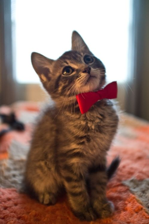 "i-justreally-like-cats-okay:  ""I wear a Bow Tie now 'cos I am a 'big' kitty!! Bow Ties are cool."" Yes they are and you look handsome wearing it."