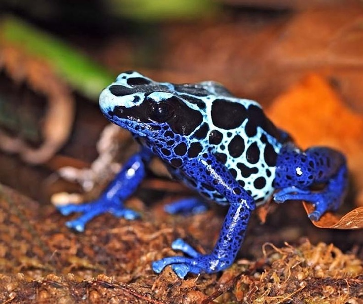 Poison Arrow Frog, photo by Eduardo Kislinsky - Pixdaus