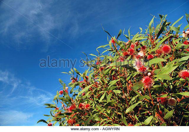 Flowering Pincushion Hakea Hakea laurina a tree native to small areas of Western Australia - Stock Image