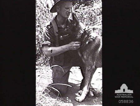 Australian Private J.G. Worchester removes a message that Sandy has brought in his collar. Sandy was trained by the US War Dog Detachment, the K-9 Corps, which was formed on 13 March 1942.