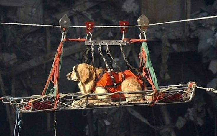 The Stress on the Rescue Dogs was So High Due to the Low Amount of Live Rescue - His name was Riley. Riley was sent alone to the North Tower for search and rescue on Sept 11, 2001. No one was found alive.
