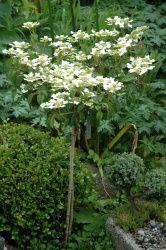 Japansk snebolle, Viburnum P watanabe. www.haven-ved-hegnet-7.dk