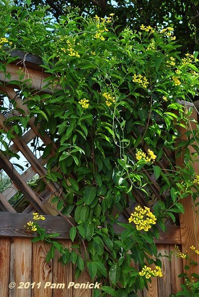 butterfly vine! thrives in drought & high temperatures. Prat to full sun Zone 8-10 10-12'