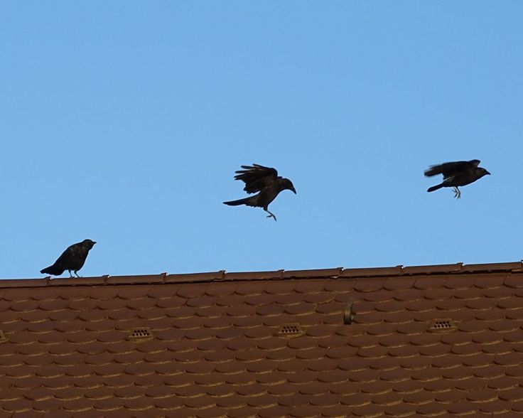 Die Krähe. Die Krähen.  Eine der drei Krähen sitzt noch auf dem Dachfirst.