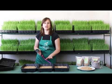 Hola Lilliputienses, en este vídeo os enseñamos cómo cultivar hierba de trigo o wheatgrass en casa para 1 persona durante 1 semana. Pero si quieres cultivar ...
