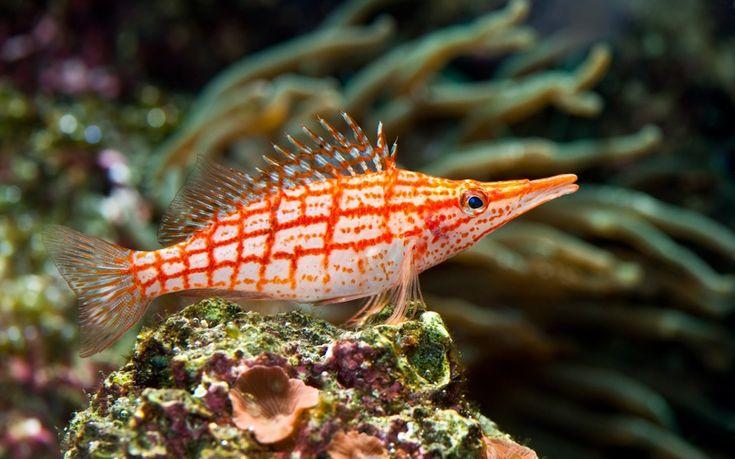 red, stripped, tropical, sea fish, underwater, coral, красные, раздели, тропический, морской рыбы, подводный мир, коралловые