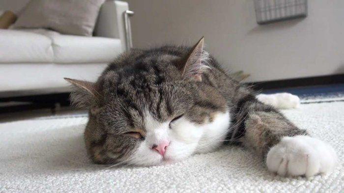 Мару – самый популярный кот - Лучшие фото из Интернета