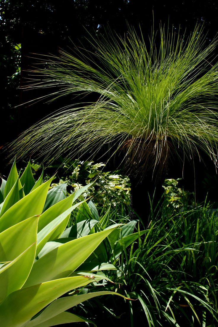 australian grass tree native bush garden pinterest