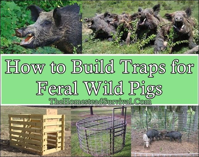 How to Build Traps for Feral Wild Pigs  Homesteading  - The Homestead Survival .Com