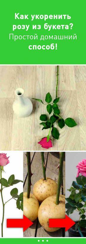 Как укоренить розу из букета? Простой домашний способ! #укоренить #роза #избукета #просто #цветы