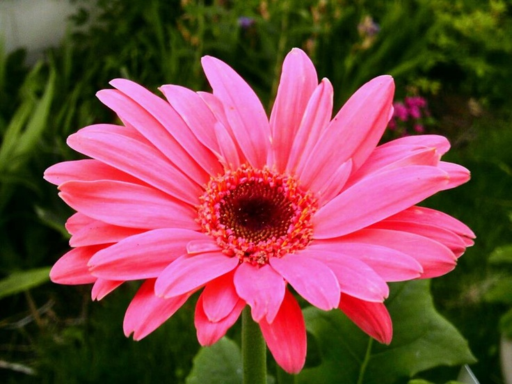 Flower of the Day from my Garden: Gerber Daisy...